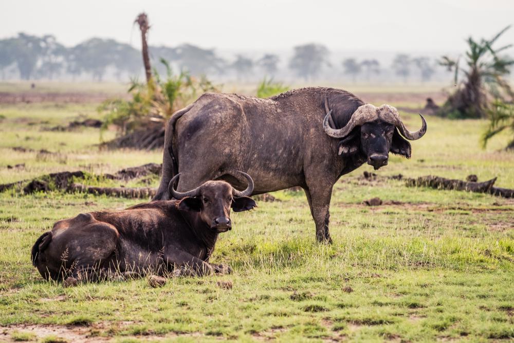 safari, buffalo